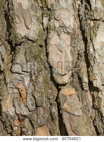 Texture Bark Of Pine Tree Closeup