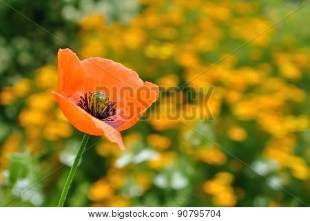 Colored Poppy Field