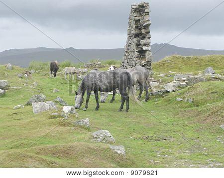 Pferde auf den Mauren von dartmoor