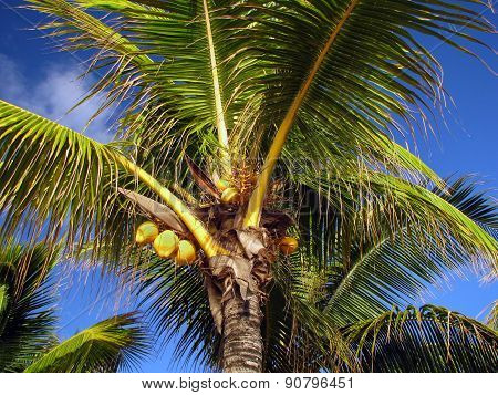 Yellow Coconuts On The Palm Under The Blue Sky In Mauritius