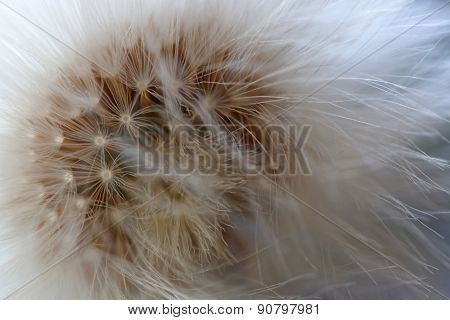 Closeup Of Dandelion in the last stage of blooming