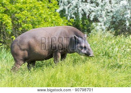 Lowland Tapir (tapirus Terrestris)