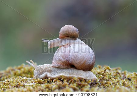Snail On Top Of A Snail On Green Moss