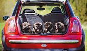 picture of shepherds  - caucasian shepherd puppies in a car trunk - JPG