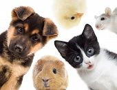 stock photo of puppy kitten  - Puppy and kitten and guinea pig on a white background - JPG