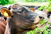 picture of bull  - Young bull Cow eat raspberries leaves clouseup - JPG
