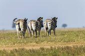 foto of wilder  - Zebra - JPG