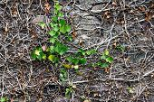 image of ivy  - Stone wall overgrown with plants Common Ivy in spring - JPG