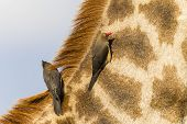 foto of ox-pecker  - Giraffe wildlife animal closeup relationship with red - JPG