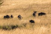 picture of grassland  - Blue Wildebeest wildlife animal herd in grassland wilderness reserve park - JPG