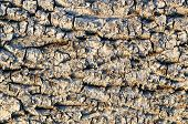 picture of alder-tree  - The texture of rough old dry alder bark - JPG