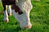picture of calf cow  - A cow grazes on a young green grass - JPG