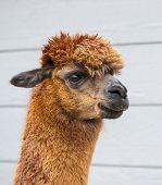 stock photo of alpaca  - Brown alpaca against a dark blue barn background - JPG