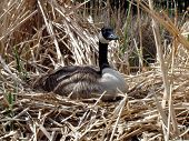 stock photo of honkers  - alert nesting goose - JPG