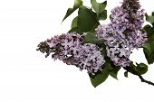 foto of may-flower  - Branch of a lilac isolated on white background - JPG