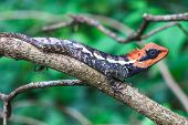 pic of lizards  - Green crested lizard - JPG