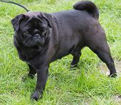 stock photo of ember  - Black pug with green grass - JPG