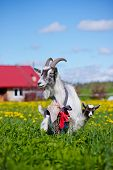 stock photo of baby goat  - goat and little kid standing on a field - JPG