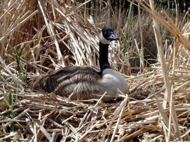picture of honkers  - alert nesting goose - JPG