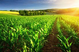 picture of humus  - Rows of young corn plants on a fertile field with dark soil in beautiful warm sunshine fresh vibrant colors - JPG
