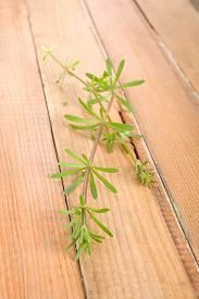 picture of willy  - Galium aparine or cleavers, clivers, goosegrass, catchweed, stickyweed, robin-run-the-hedge, sticky willy, sticky willow, velcro weedor grip grass on wooden background.