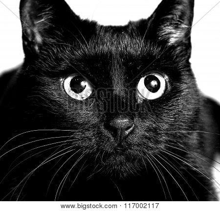 Black Cat Monochrome Photo Close Up Portrait
