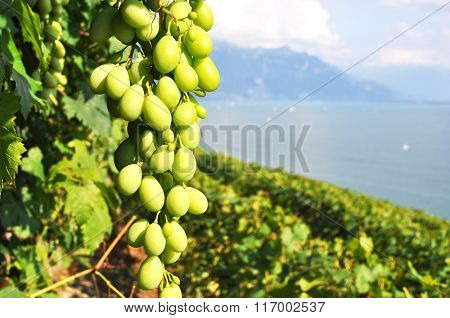 Bunch of grapes in Lavaux region, Switzerland