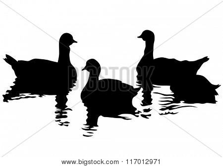 Flock of ducks floating on water on a white background