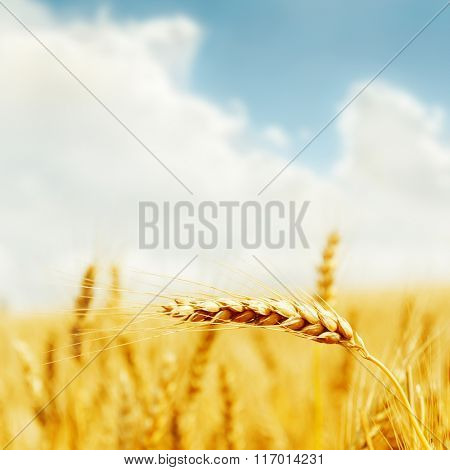 golden harvest on field. soft focus
