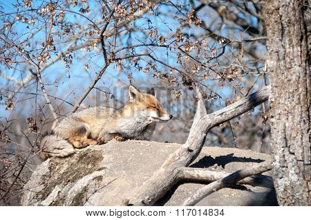 Fox Lying On A Rock Resting Under The Hot Sun - 5