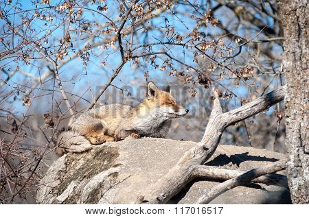 Fox Lying On A Rock Resting Under The Hot Sun - 8