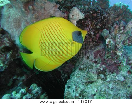 Golden Butterflyfish 1