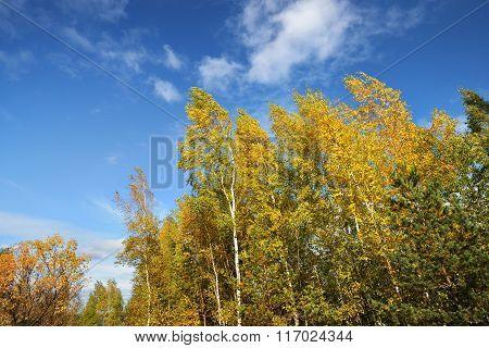 Autumn landscape. Yellow birch trees against blue sky.