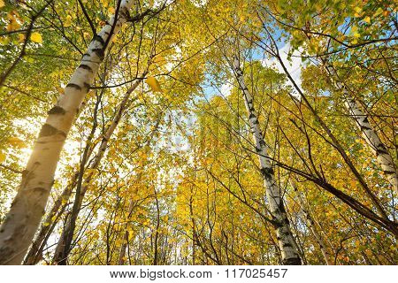Autumn Landscape. Birch Tree Forest