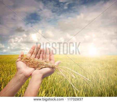 hand holding harvested paddy