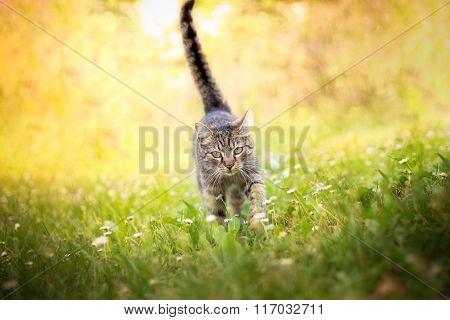 Cat walking towards camera