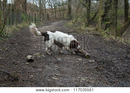 Springer Spaniel Playing With Stick