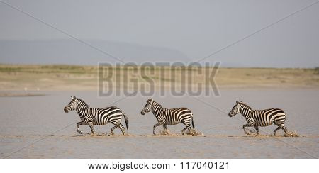 Three Plains Zebra Running Through Water, Hidden Valley, Serengeti, Tanzania