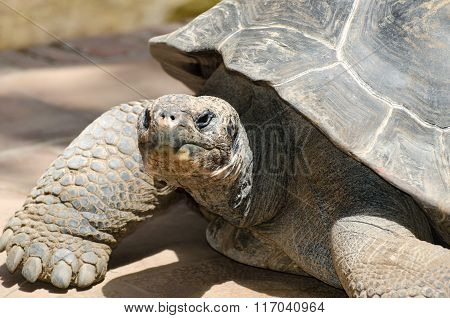 Head of a giant Galapagos tortoise in captivity