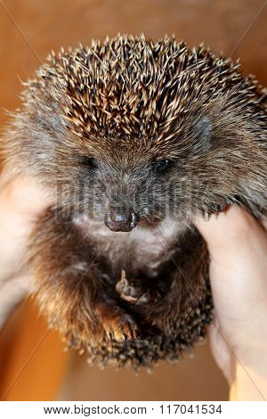 Hedgehog In The Hands Of Man.