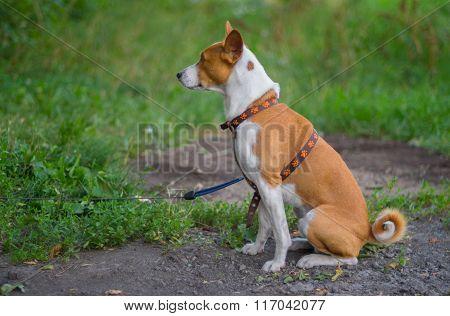 Outdoor portrait of basenji dog sitting on the ground (shallow dof) at summer season