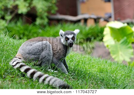 Ring Tailed lemur shown on grass in captivity