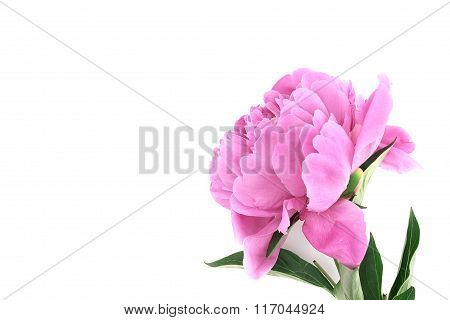 Pink Peony Flower Isolated On White Background With Copy Space For Greeting Message