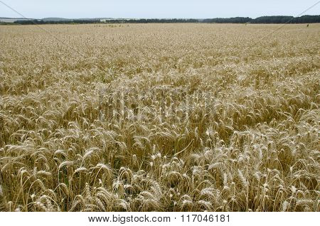 A Farm Field Golden Ripe Wheat Slumped Under The Weight Of Ears