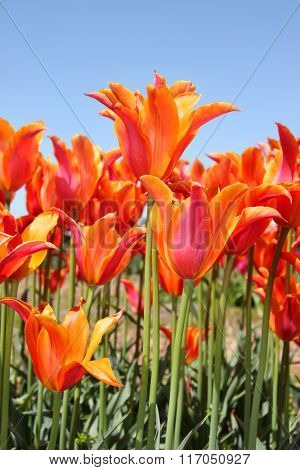 Orange and red colored Tulips