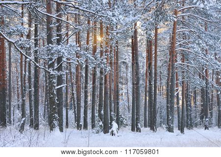 Winter Wonderland In A Snowy Red Pine Forest Illuminated With Yellow Sunrise