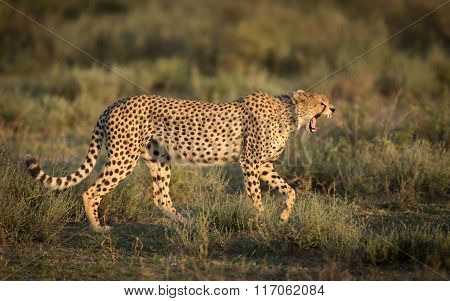 Male Cheetah Yawning As It Walks In The Serengeti National Park, Tanzania