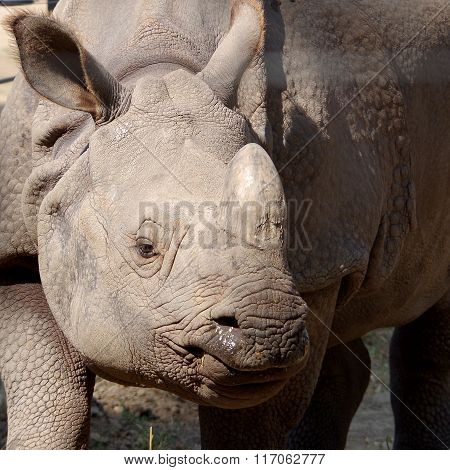 Gray rhinoceros in captivity
