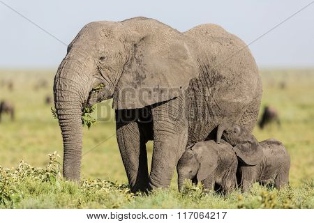Adult Female Elephant Feeding With Her Twin Babies, Serengeti, Tanzania