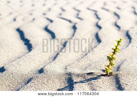 Plant sprouting in the desert in Sahara. Sprout in the desert.